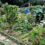Le houblon trône au milieu du jardin